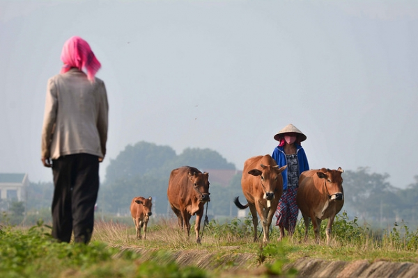 On a clear morning, a woman takes her cows to the field for grazing in Tây Nguyên, Vietnam on October 23, 2015. (Ratclima/Flickr)