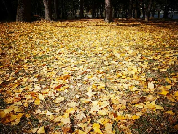 Yellow leaves blanket the ground in Namiseom Island, South Korea on October 25, 2015. (Sabrinadai/Flickr)