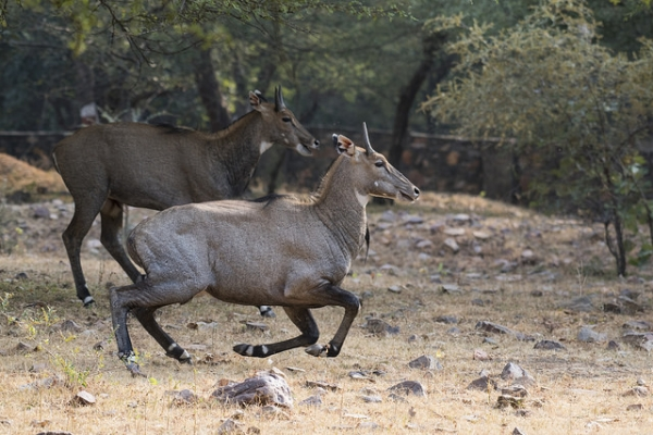 Two Asian antelopes, known as nilgai, gallop through Ranthambore National Park in Sawai Madhopur, India on October 22, 2015. (Srikaanth Sekar/Flickr)