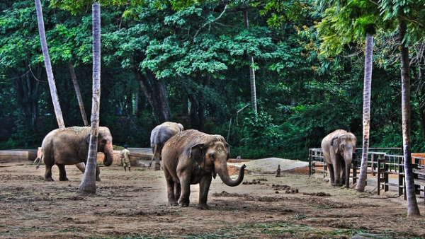 A group of elephants walk around at the zoo in Mysore, India on December 21, 2015. (Yair Aronshtam/Flickr)