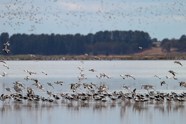A flock of banded stilts and red-necked avocets start to take flight in Lake Burrumbeet, Australia on January 20, 2016. (Ed Dunens/Flickr)