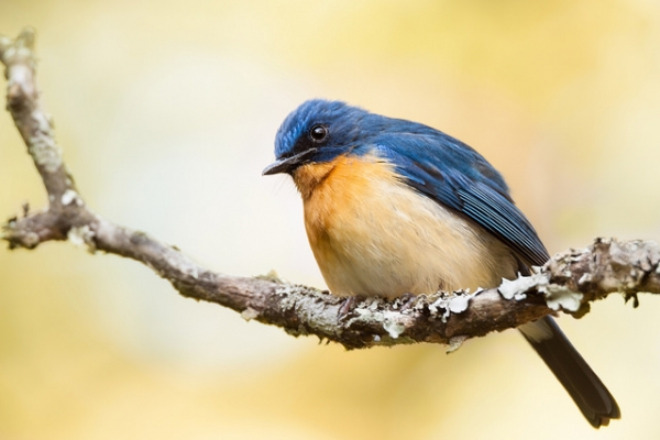Tickell's blue flycatcher — a small bird with blue feathers — perched on a branch in Karnataka, India on February 6, 2016. (ruben alexander/Flickr)