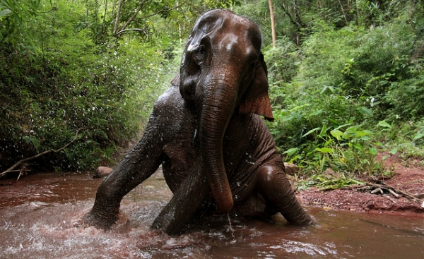 An elephant splashes around in the jungles of Laos on September 20, 2012. (worldsurfr/Flickr)