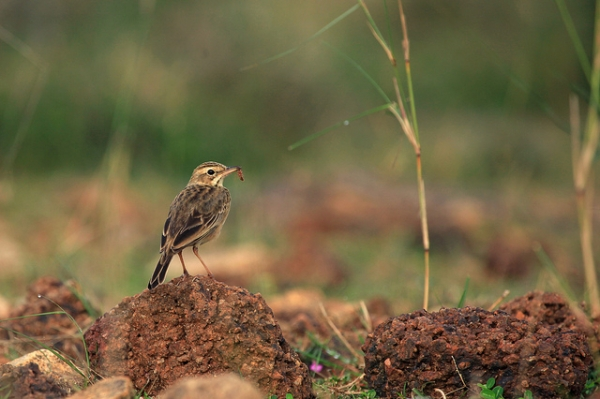 A wood lark perches on a rock with its prey between its beak in Sirudavoor, India on January 9, 2013. (VinothChandar/Flickr)