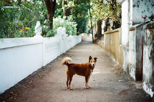 A dog pauses on a lonely path to pose for the camera in Goa, India on January 31, 2013. (katya_alagic/Flickr)
