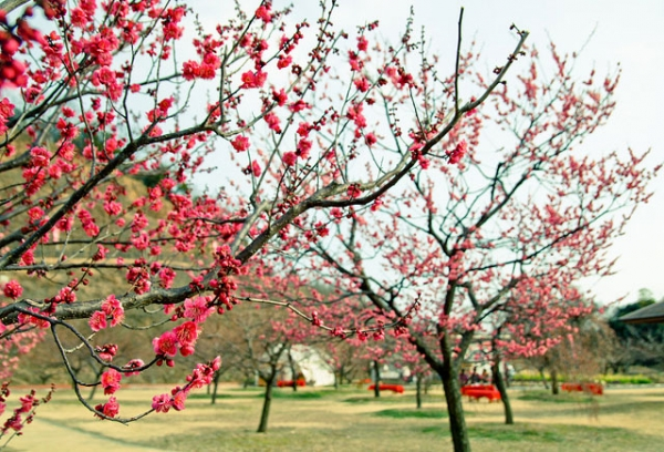 Ume trees stand laden with vibrant plum blossoms in Chugoku Rergion, Japan on February 25, 2013. (Makoto Okuda/Flickr)