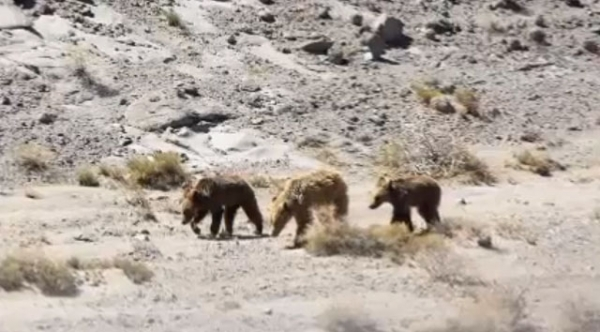 The Mongolian Gobi Bear is one of the world's most endangered animal species. (Carlos Alperin/http://www.youtube.com/watch?v=HruroJQijkY)