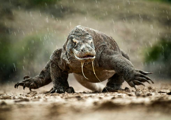 A komodo dragon charges during a rainstorm on Rinca Island, Indonesia. (Amos Chapple)