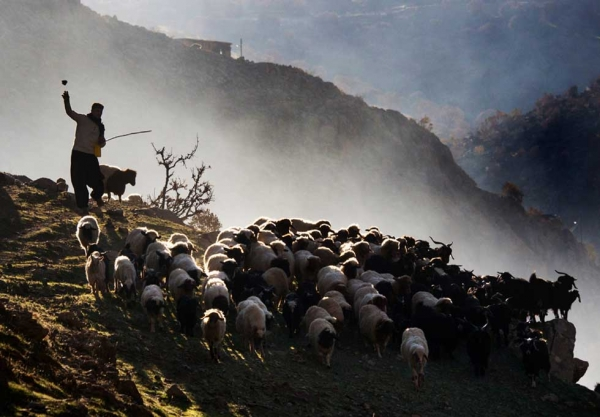 A shepherd leads Palangan's flock of sheep out to graze. (Amos Chapple)