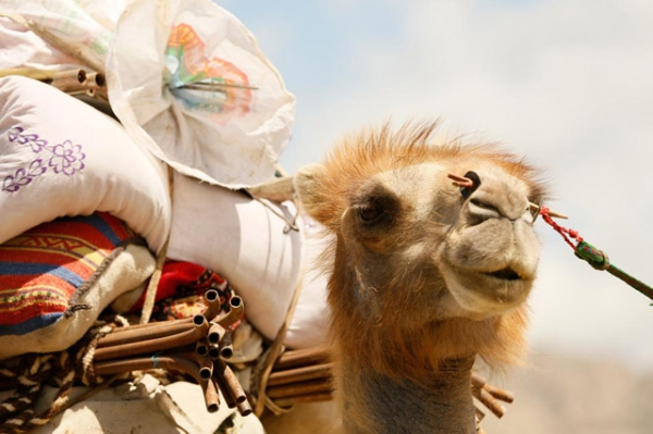 A camel loaded with the possessions of its nomadic owners looks off into the distance in China's Xinjiang province on June 6, 2014. (Xiaolu Chu/Getty Images)