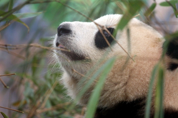 A giant panda in an enclosure at the Giant Panda Breeding Centre in Chengdu, China in 2011. (Sean Gallagher)