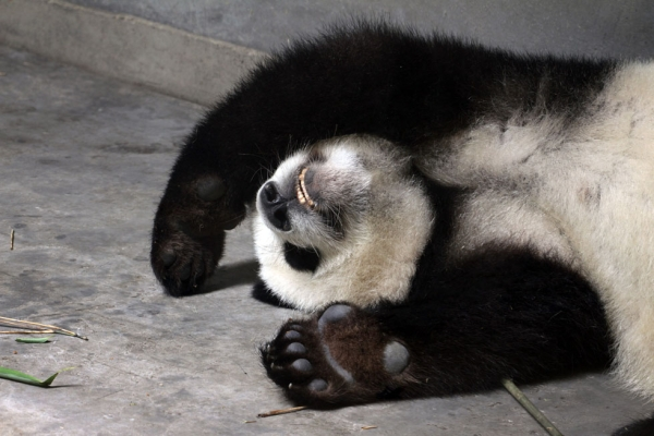 A sleeping giant panda at the Giant Panda Breeding Centre in Chengdu, China in 2011. (Sean Gallagher)