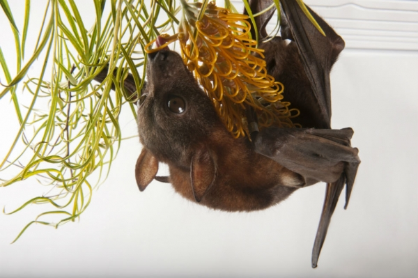 Little red flying fox (Pteropus scapulatus) at Australian Bat Clinic. (Joel Sartore Photography)