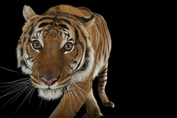 Image of: Threatened Malayan Tiger panthera Tigris Jacksoni At The Omaha Zoo joel Sartore Pinterest Slideshow National Geographic Lensman Gets Up Close And Personal