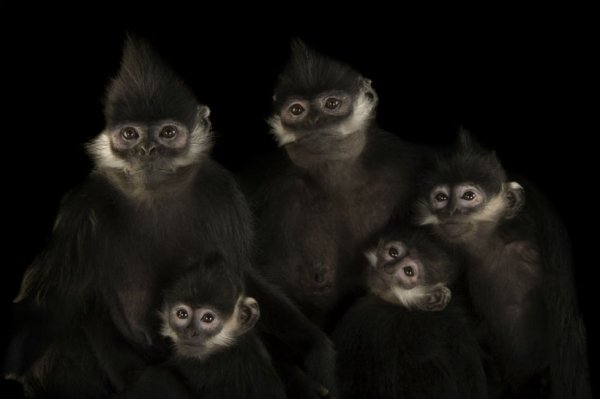"Francois langurs (Trachypithecus francoisi) at the Omaha Zoo. These monkeys are good jumpers. When they're born, they're bright orange for the first three or four months. They're also good at ""aunting,"" meaning various females care for others' babies. (Joel Sartore Photography)"