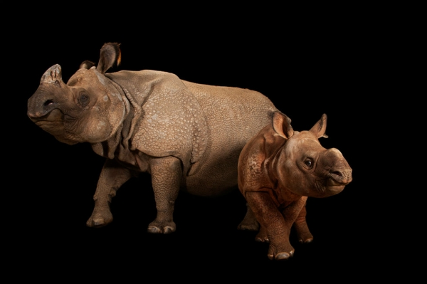 An endangered Indian rhinoceros female with calf (Rhinoceros unicornis) at the Fort Worth Zoo. (Joel Sartore Photography)