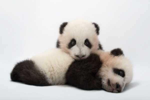 Mei Lun and Mei Huan, the twin giant panda cubs (Ailuropoda melanoleuca) at Zoo Atlanta. (Joel Sartore Photography)