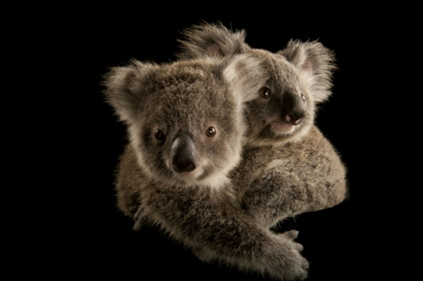 Two koala joeys cling to each other, waiting to be placed with human caregivers. once they're old enough, they'll be released into the wild. (Joel Sartore Photography)