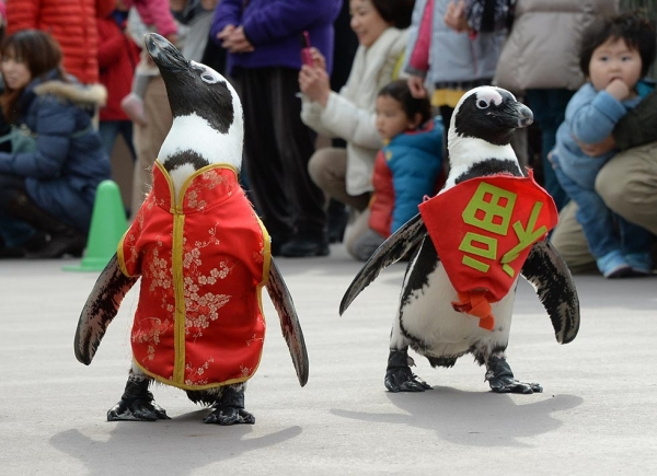 "Penguins waddle their way into Lunar New Year festivities at Hakkeijima Sea Paradise amusement park, dressed in traditional Chinese clothing adorned with the character for ""good fortune"" or ""happiness,"" on January 26, 2014 in Tokyo, Japan. (Toru Yamanaka/AFP/Getty Images)"