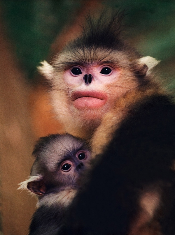 A young mother snub-nosed monkey and her baby. (Xi Zhinong)