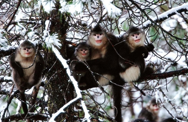 A small family of the snub-nosed monkey known as Rhinopithecus bieti. (Xi Zhinong)