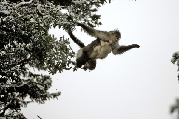 A snub-nosed monkey leaps from one tree to another with baby in tow. (Xi Zhinong)