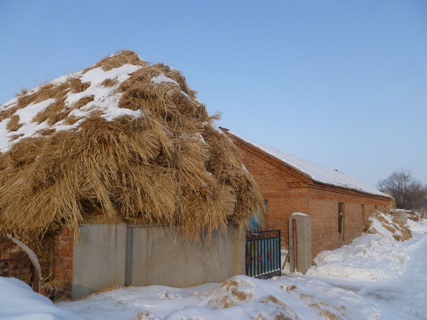 Dried rice straw that will be used to fuel this home's kang (heated brick bed) through the winter. (Michael Meyer)