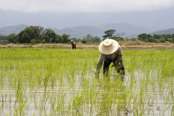 Farmers plant rice in Thailand. (♥siebe ©/Flickr)